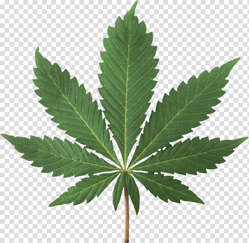 Green leafed plant, Cannabis sativa Cannabis smoking.