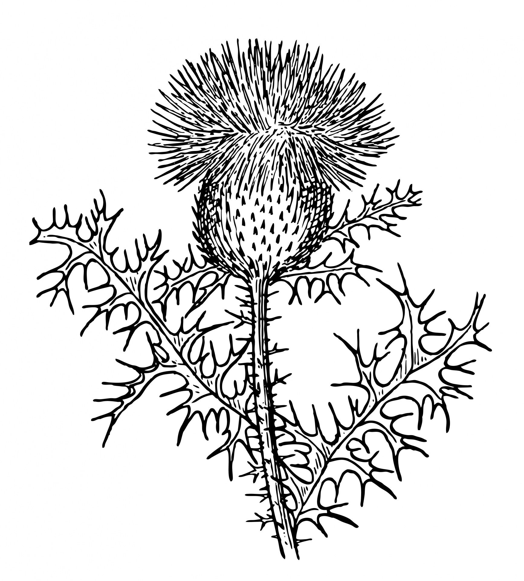 Thistle Clipart Illustration in 2019.