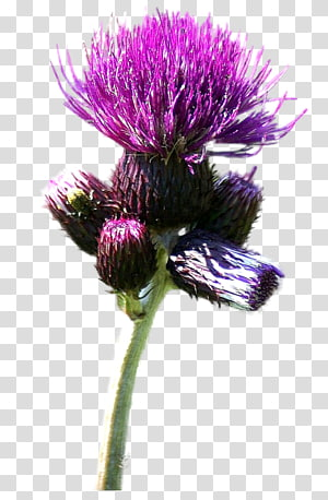 Milk thistle Cardoon Web browser, Nikita transparent.