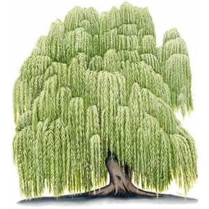 192 Willow Tree free clipart.