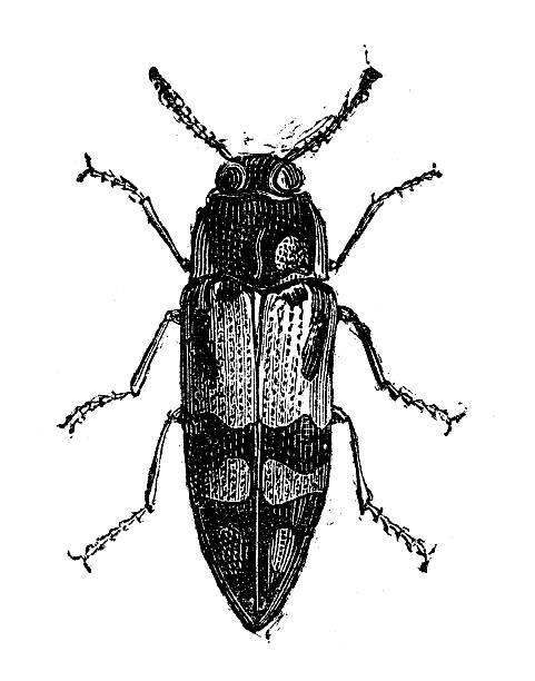 Drawing Of Weevils Clip Art, Vector Images & Illustrations.
