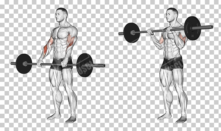 Biceps curl Barbell Exercise Dumbbell, arm muscle PNG.