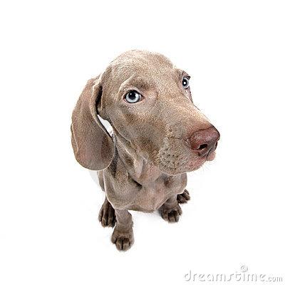 Weimaraner Puppy Dog Stock Photo.