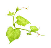 Grape Leaf Stock Photos and Illustrations.
