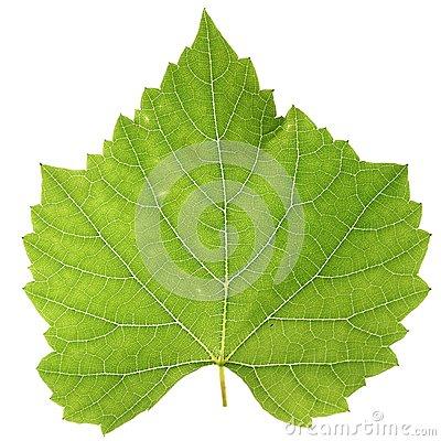 Vine Leaf Royalty Free Stock Images.