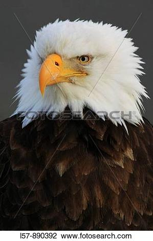 Stock Photo of Bald Eagle, Haliaeetus leucocephalus.