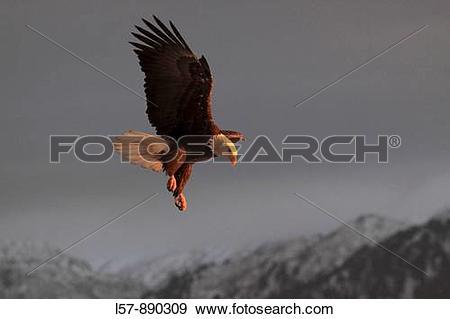Stock Photograph of Bald Eagle, Haliaeetus leucocephalus.