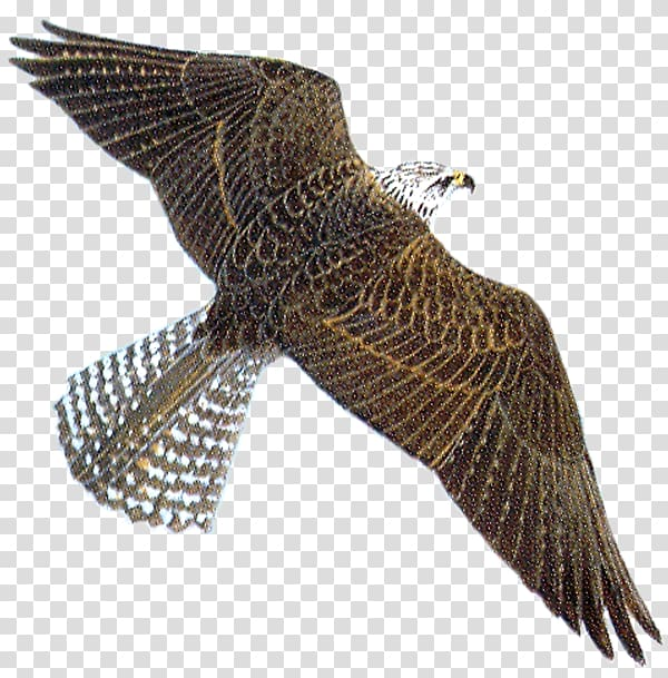 Peregrine falcon , Grand Kartal Hotel transparent background.