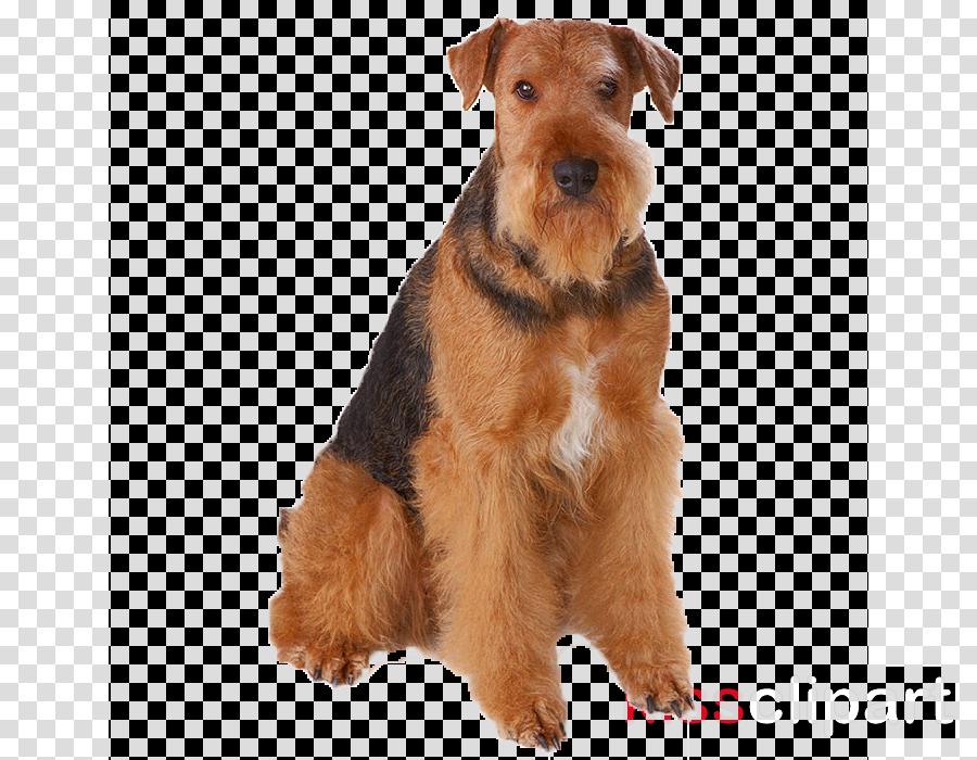 dog welsh terrier airedale terrier lakeland terrier terrier.