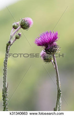 Stock Photo of Welted thistle k31340663.