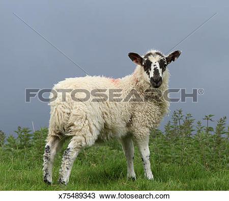 Stock Photo of Lamb, Wensleydale x75489343.