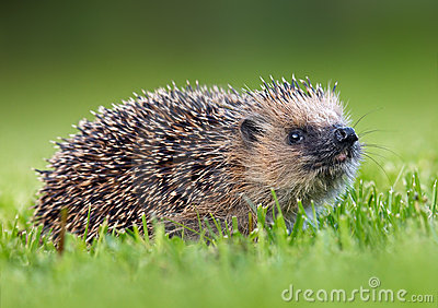 West European Hedgehog Royalty Free Stock Photos.