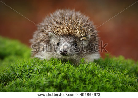 Hedgehog Stock Images, Royalty.