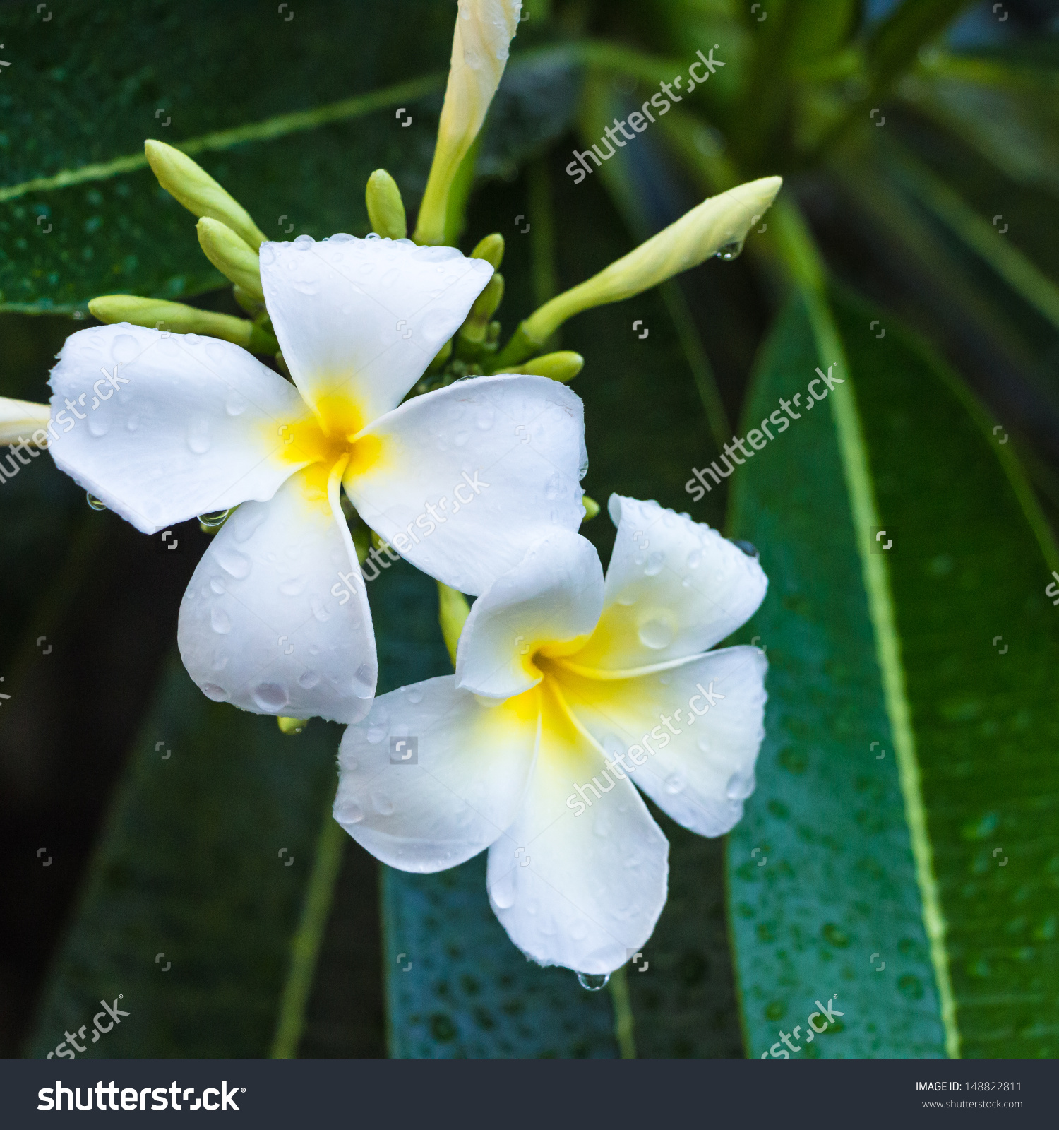 Evergreen Frangipani, Graveyard Flower, Pagoda Tree, Temple Tree.