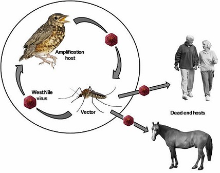 Big step towards predicting West Nile virus transmission.