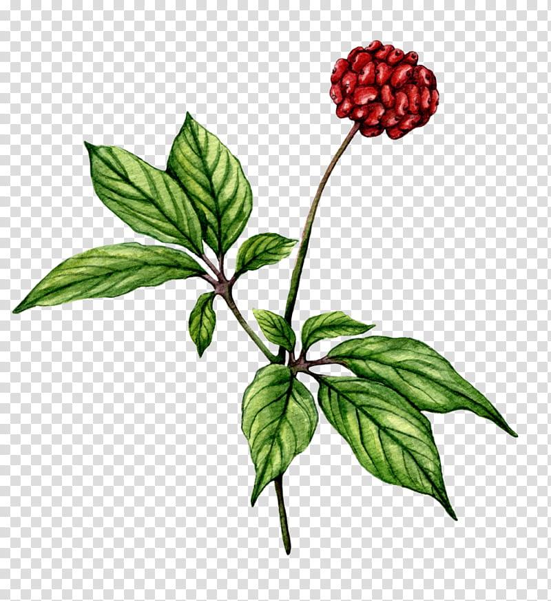 Background Flower, Ginseng, Nootropic, Asian Ginseng.