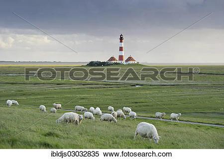 "Stock Image of ""Lighthouse and sheep, Westerheversand, Westerhever."
