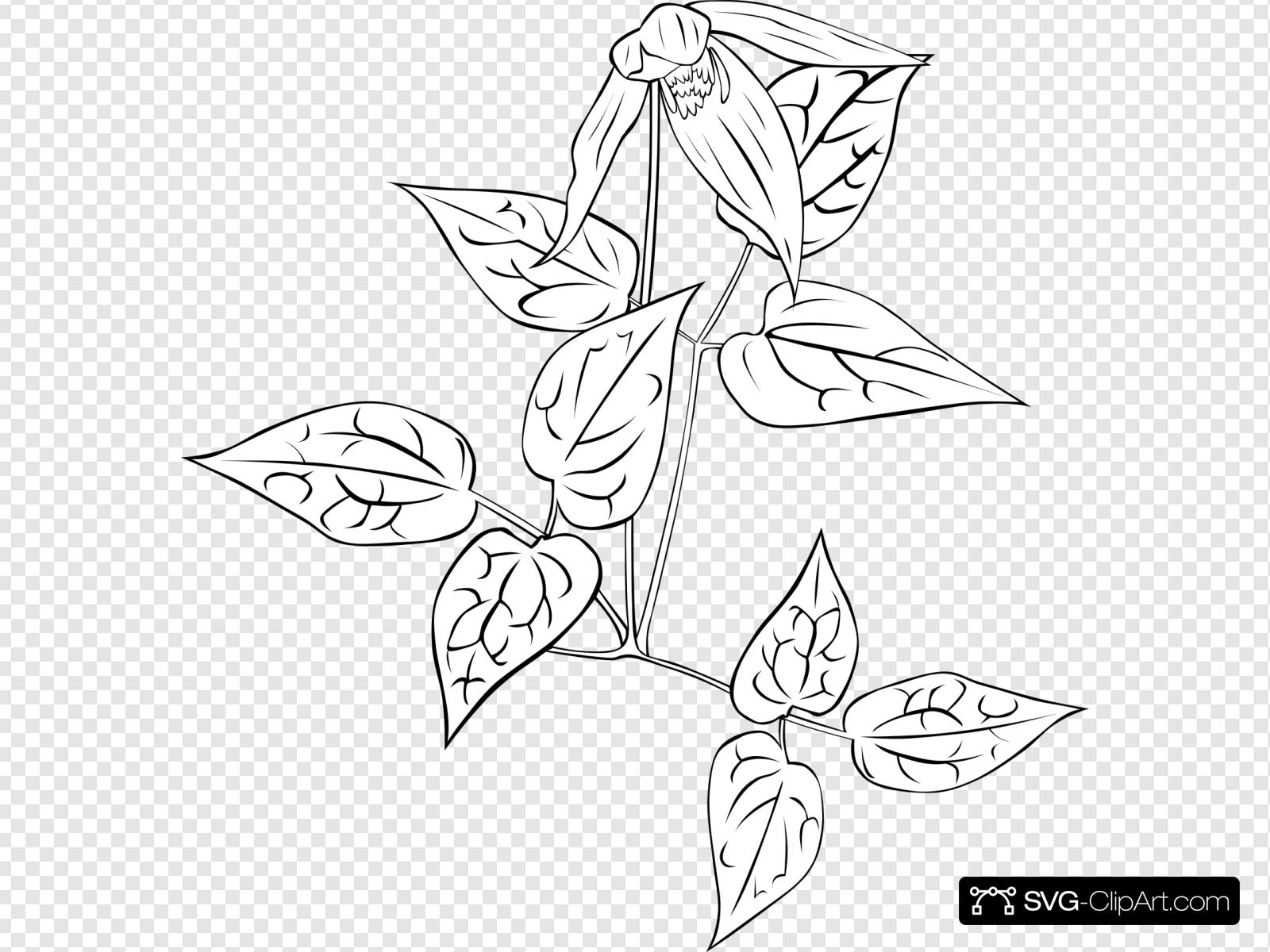 Western Blue Virginsbower Coloring Page Clip art, Icon and.