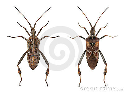 Western Conifer Seed Bug Royalty Free Stock Image.