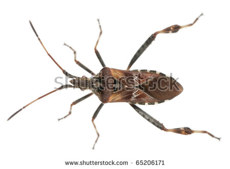 Seed Bug Stock Photos, Royalty.