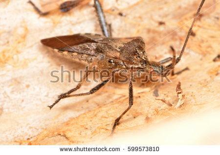 Kissing Bug Stock Photo 55076446.