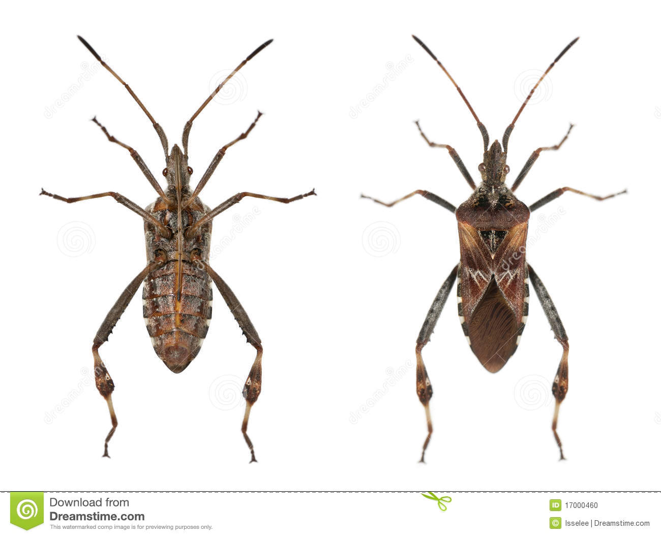 Western Conifer Seed Bugs Stock Photo.