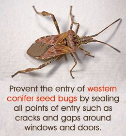 1000+ ideas about Western Conifer Seed Bug on Pinterest.