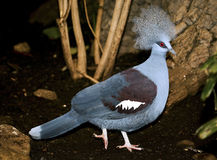 Western Crowned Pigeon Stock Photos.