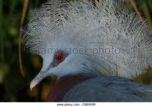 Western Crowned Pigeon Stock Photos & Western Crowned Pigeon Stock.