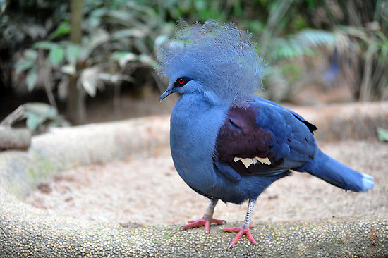 crown victoria pigeon.