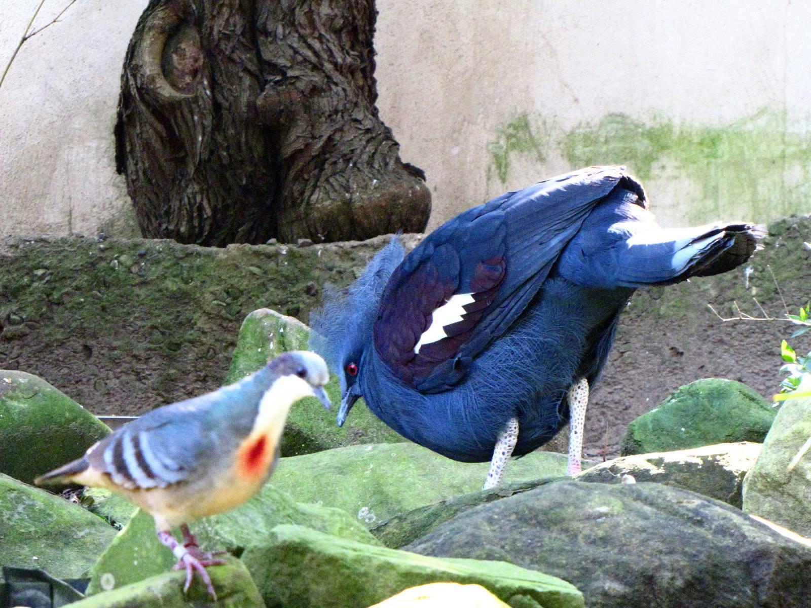 Blue Crowned Pigeon.