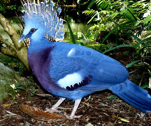 Victoria Crowned Pigeon, N New Guinea & surrounding islands.