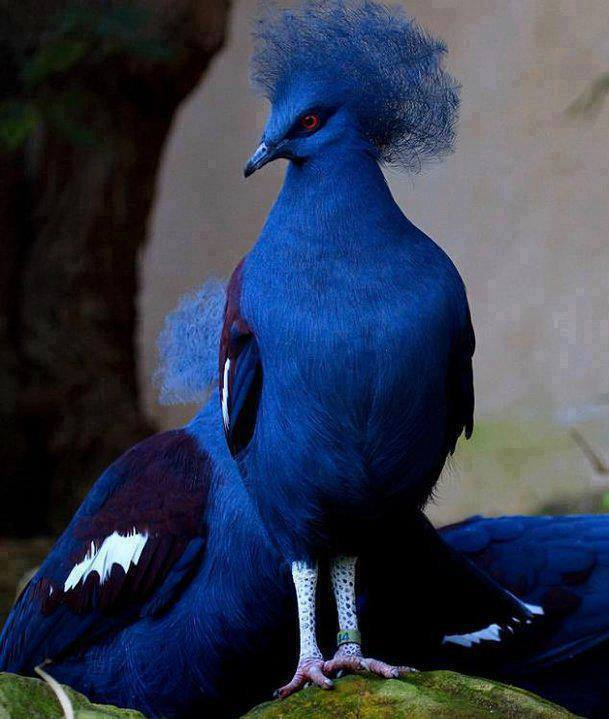 Beautiful Blue Crowned Pigeon. #Amazing #Animals Amazing.pk.