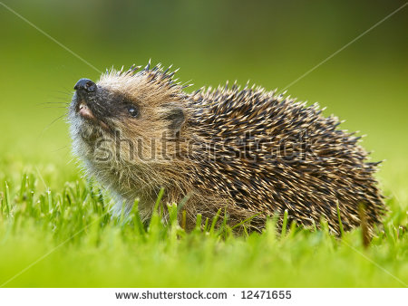 West European Hedgehog Erinaceus Europaeus Stock Photo 12471658.