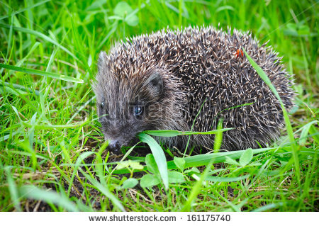 Western European Hedgehog Stock Photos, Royalty.