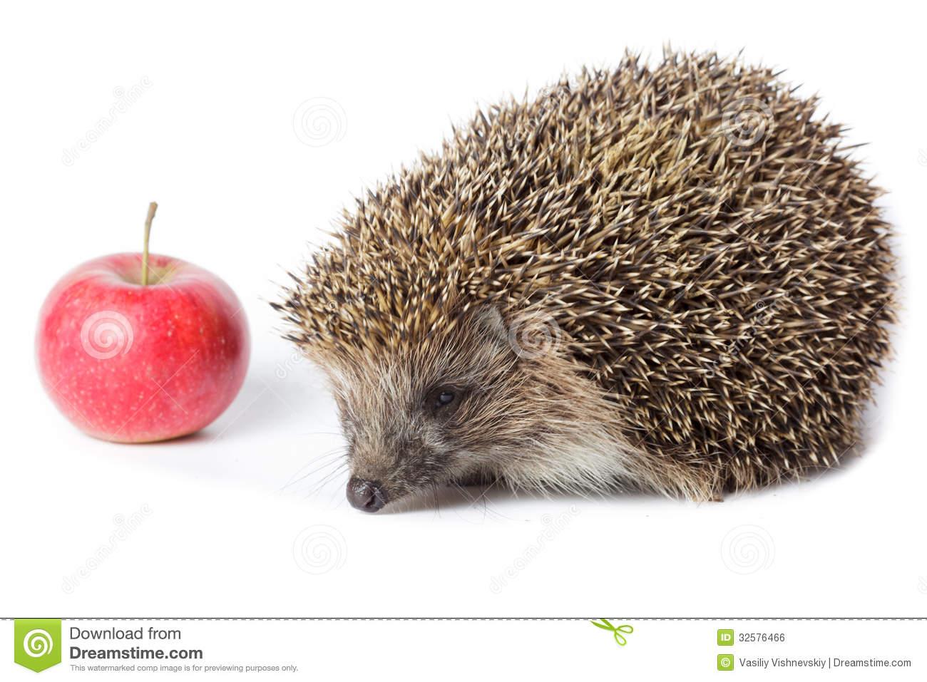 Erinaceus Europaeus, Western European Hedgehog. Royalty Free Stock.