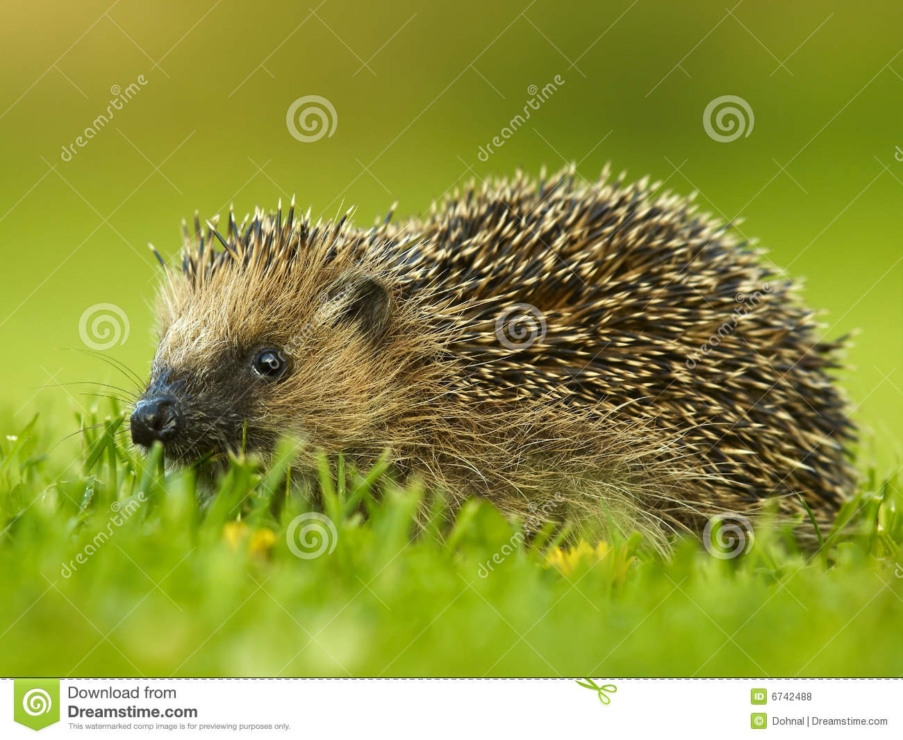 West European Hedgehog (Erinaceus Europaeus Royalty Free Stock.