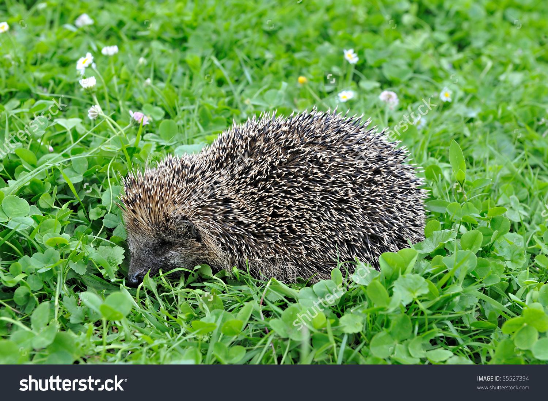 West European Hedgehog In A Grass Stock Photo 55527394 : Shutterstock.