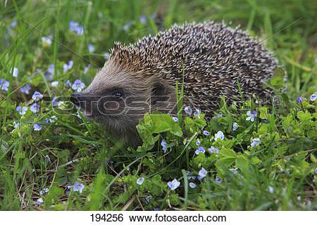 Stock Images of European Hedgehog, Western Hedgehog (Erinaceus.