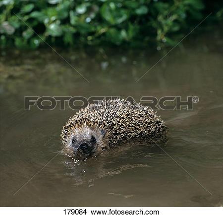 Stock Photo of European Hedgehog, Western Hedgehog (Erinaceus.