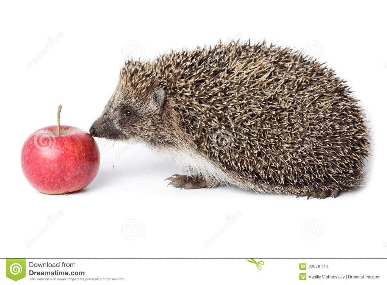 Erinaceus Europaeus, Western European Hedgehog. Stock Images.