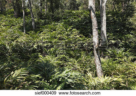 Stock Photograph of India, Kerala, Western Ghats, View of cardamom.