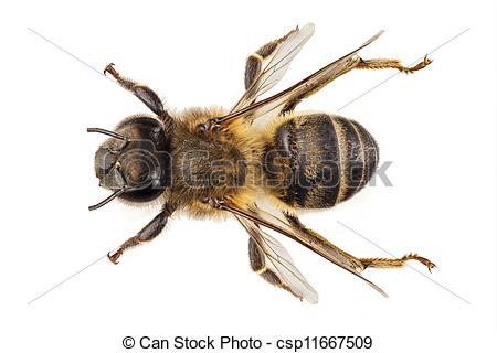 Stock Photography of Bee species apis mellifera common name.