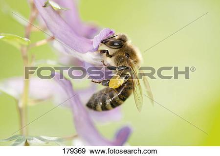 Stock Photograph of European Honey Bee, Western Honey Bee (Apis.