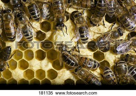Stock Image of European Honey Bee, Western Honey Bee (Apis.