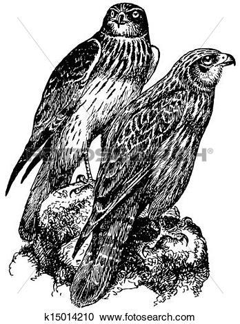Clipart of Birds Western Marsh Harrier k15014210.