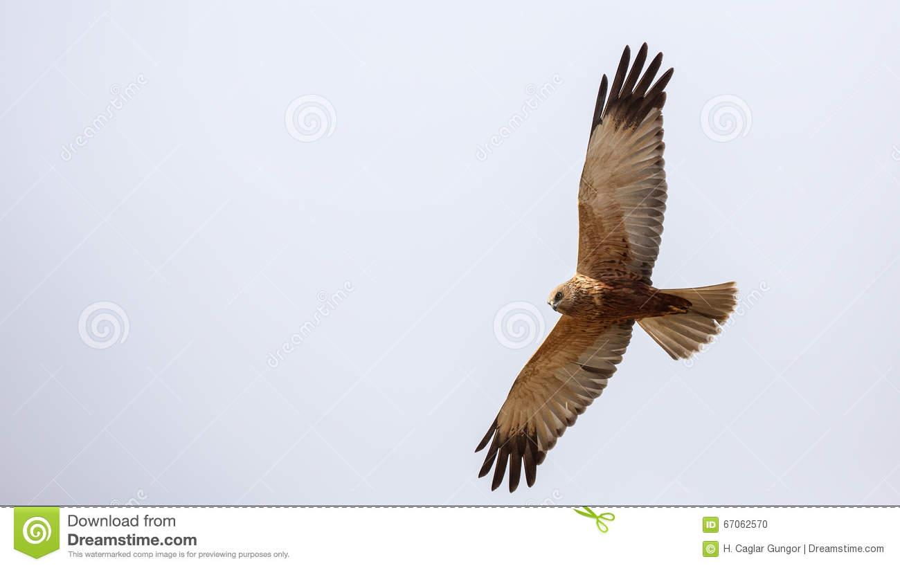 Western Marsh Harrier In Flight Stock Photo.