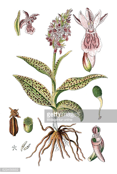 Western Marsh Orchid Stock Photos and Pictures.