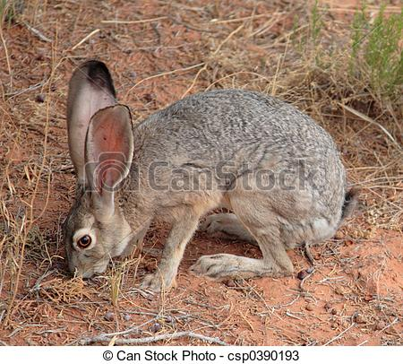Stock Photos of Western Jack Rabbit.