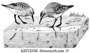 Marsh sandpiper Illustrations and Clip Art. 58 marsh sandpiper.